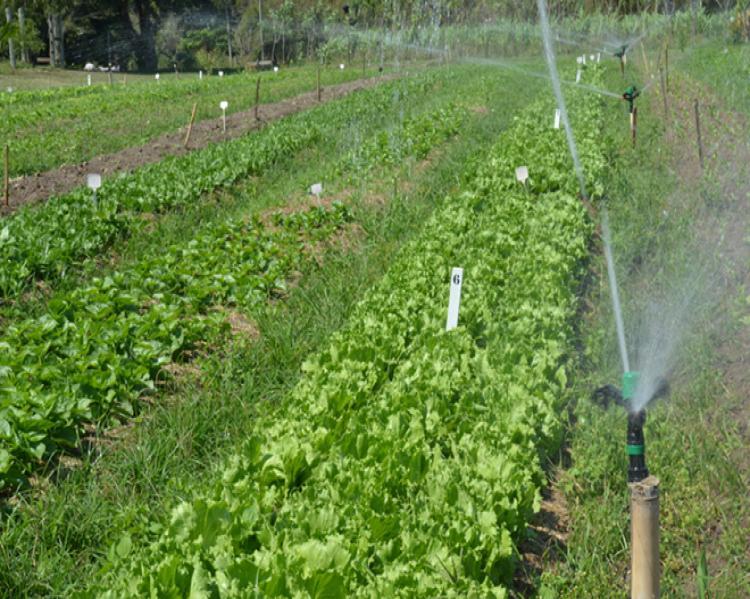 Plantação de hortaliças recebendo água
