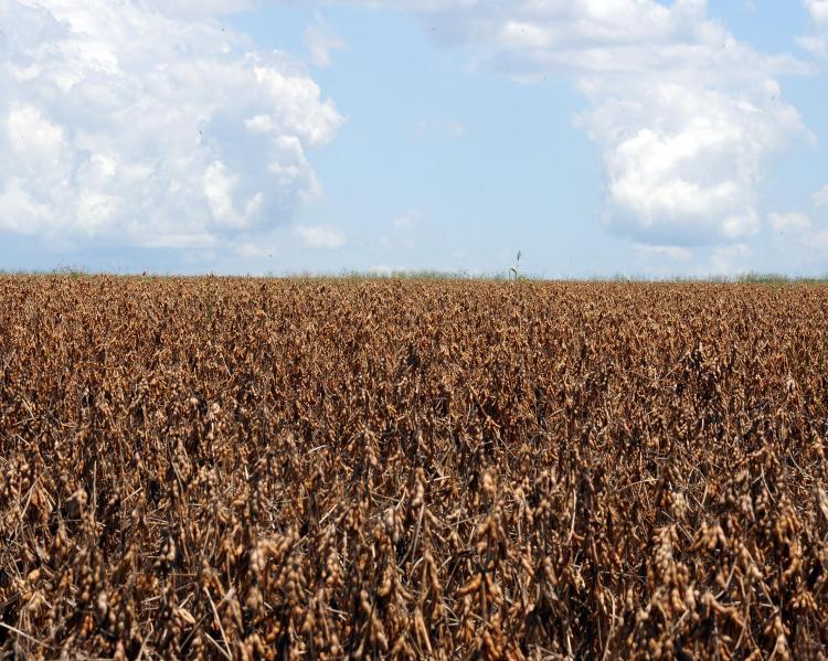 Plantação de soja sob céu azul